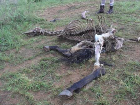 Den tidligere omtalte hesten etter ca 20 timer som død. Her går det fort!
