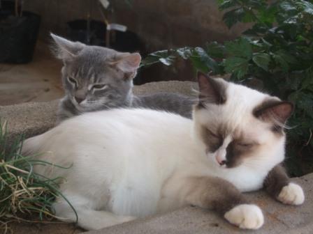 Våre veldig søte kattunger Mia og Snowflake som har funnet seg skikkelig til rette i flokken