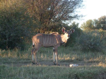 På vei til bursdagsfest traff vi på disse kara. En ung Kudu han (ca 3 år)...