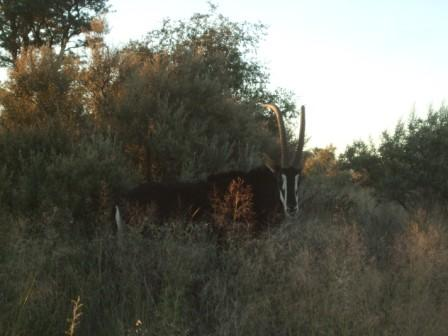 ....... og denne Sabelantilopen som var godt voksen. ( antagelig 7-9 år) Flotte?