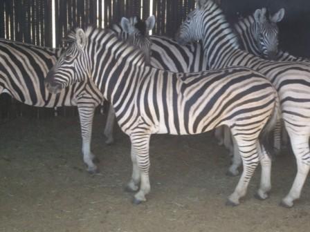 """Det finnes også flere typer av Zebraer. I hovedsak to. Denne er en Plain Zebra (Steppe Sebra). Det kan man se fordi stripene går helt under hele magen og at den har gråe """"mellomstriper""""."""