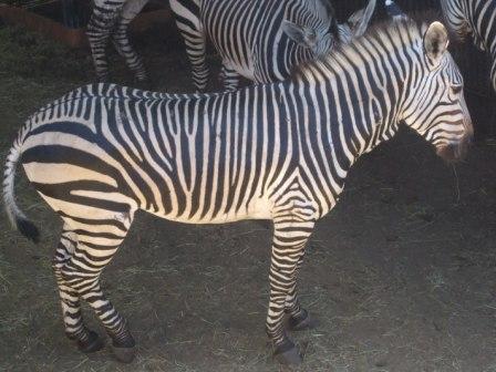 Den andre er Mountain Zebra. Den har hvit buk og har mye mere markerte striper. Når man ser godt etter er den også mere kortbeint og kraftigere. Denne blir kanskje det peneste teppe.