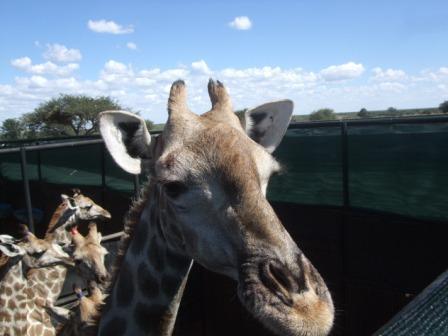 Har dere tenkt over hvor stort hode en Sjiraff har? Det er kanskje andre ting ved en Giraff som man legger merke til først men sammelnignet med en hest for eksempel et dette en helt annen divisjon.