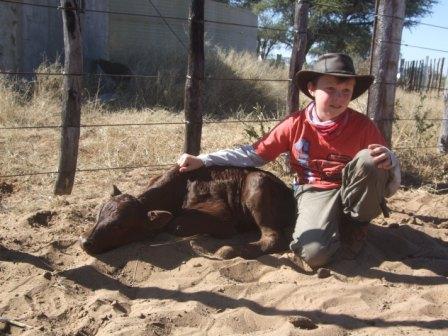 Jonas med en ganske nyfødt kalv. Den har gått langt og er sliten etter alt ståket med merking og vaksinering. En bekymret gutt som lurer på hvor Mamma Mø er...