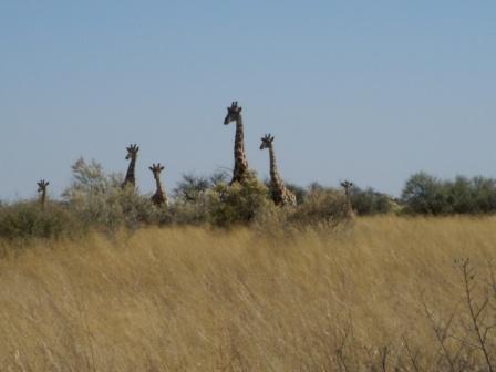 Alle seks sjiraffene samlet. Det er like gøy å se disse majestetiske dyrene hver gang.