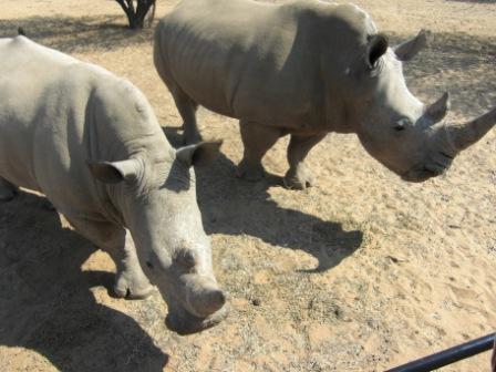 På Okapuka var vi også med på game-drive, og fikk virkelig sett endel dyr på nært hold. Her er det White Rhino som kommer helt inn til bilen for å få pellets av guiden. Imponerende dyr!!