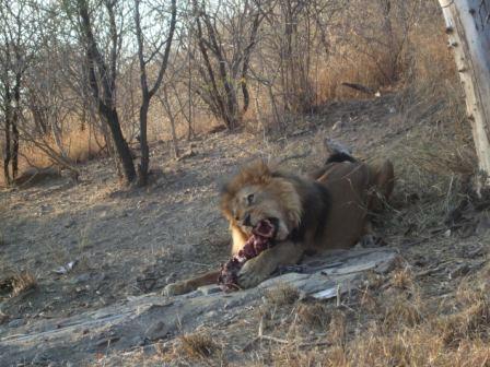 Vi var også på Okapuka ranch og så på løvematingen. Kan ikke anbefales til sarte sjeler...