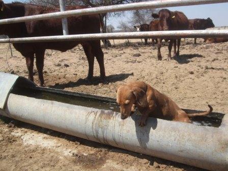 Rufus- også kjent som saussage dog her i Namibia...bader gjerne i trauet på et av beitene til kuene. Varmen har virkelig tatt seg opp og vi har 30 grader om dagen nå bare i skyggen!!