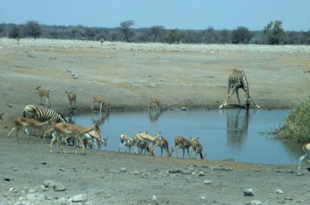 Fullt opp ved drikkehullene nå som det er tøke i hele parken ellers. Her både Impala, Springbukk, Zebra og Sjiraff.