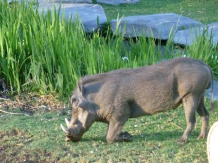 Vortesvinet på Okapuka kan gå trygt sammen med alle de andre dyra de har der. De driver ikke jakt på området og dermed kommer man ganske nærme innpå dem. Verre gikk det for vortesvinet på Oehlland da Bernt skulle ut på grise-jakt! Mer om det i neste runde he he...
