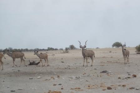 En herre-Kudu ved et vannhull... damekuduene har ikke horn, derfor lett å fastslå at dette er en herremann.