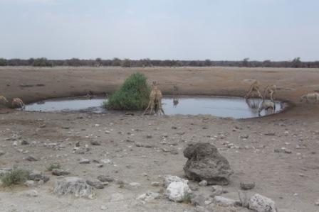 6 forskjellige dyrearter ved vannhullet. Oryx, Kudu, Sjiraff, Springbok, Impala og vortesvin.