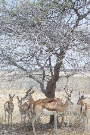 """Springbukkene finner skygge under et tre. Ca.fra klokka 12 tar dyra en """"siesta"""" og ligger/står i skyggen for å unngå den sterkeste heten på dagen. Da er det ikke mange dyr ved vannhullene heller."""