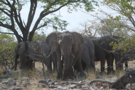 Pelle hviler også under trærne midt på dagen. Disse dyra er rett og slett imponerende...