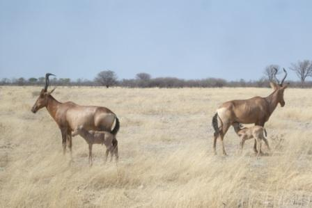 Et sjeldent syn for oss... To Hartebeastdamer med hver sin kalv... Begge holder utkikk i hver sin retning. Er det løver i nærheten tro...?