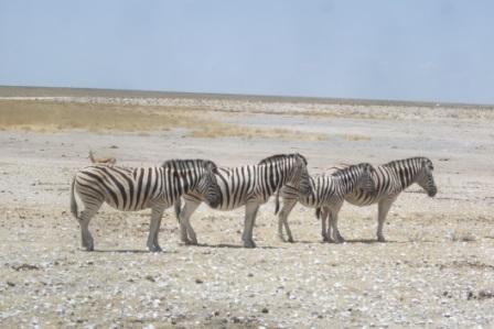 4 på rad...? Dette er en av tre typer Zebraer som lever i Namibia. Dette er en steppe-Zebra, og hvis du ser nøye kan du se at denne har striper INNI stripene sine. Vi har også sett fjell-Zebra, og den kjennetegnes ved at den IKKE har striper inni stripene sine, og dessuten er den noe stutter i ganglaget.