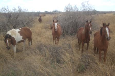 Villhestflokken øker stadig, her finnes både drektige hopper, føll og mulldyr (blanding av hest og esel)