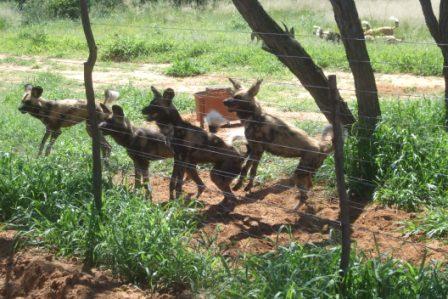 African wild dog- ser jo ut som en gjeng slitne huskyer...!