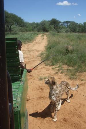 Guiden holder en sulten Gepard på avstand...
