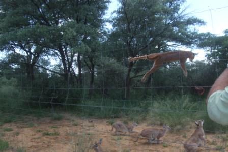 Caracalen hopper vanvittig høyt og de får tak i byttet som en anne keeper i svevet. En tok sågar backflip for å få tak i maten sin