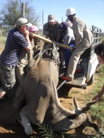 """Denne karen var ikke av de største, han veide kanskje rundt ca 500 kg. Men det er allikevel tungt """"dau kjøtt"""" når du skal ha det opp på bilen etterpå...."""